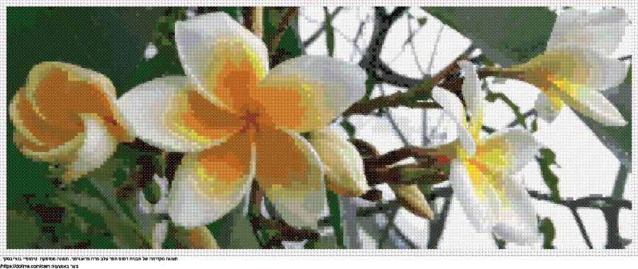 פרח פראנגיפני